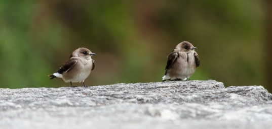 Little swallows taking a break from whizzing around the plaza